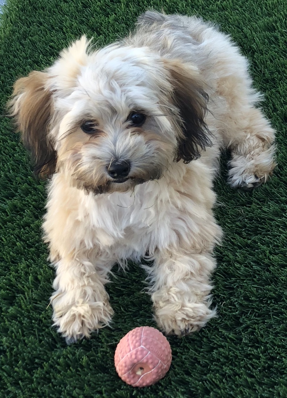 Photograph of Patterson Plumbing's cute yorkie dog playing with her pink ball on green grass.